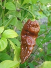 bhut-jolokia-assam-raja-jr-strain-chocolate